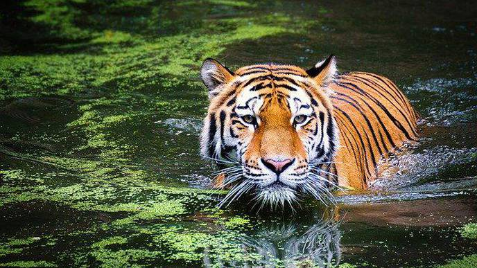 A Tiger at the Bronx Zoo Has Tested Positive for Coronavirus